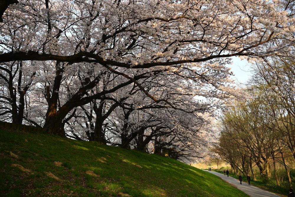 背割り 桜