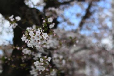 桜と猫 ニコンZ50  AF-S NIKKOR 58mm f/1.4Gの作例