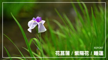 花菖蒲 Z7Ⅱ+NIKKOR Z 70-200mm f/2.8 VR S